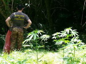 Droga: guardia finanza scopre piantagioni canapa indiana a Cetraro