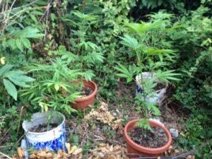 piante_marijuana_in_vasetti_conflenti