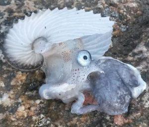 Argonauta trovato sulla spiaggia di Briatico