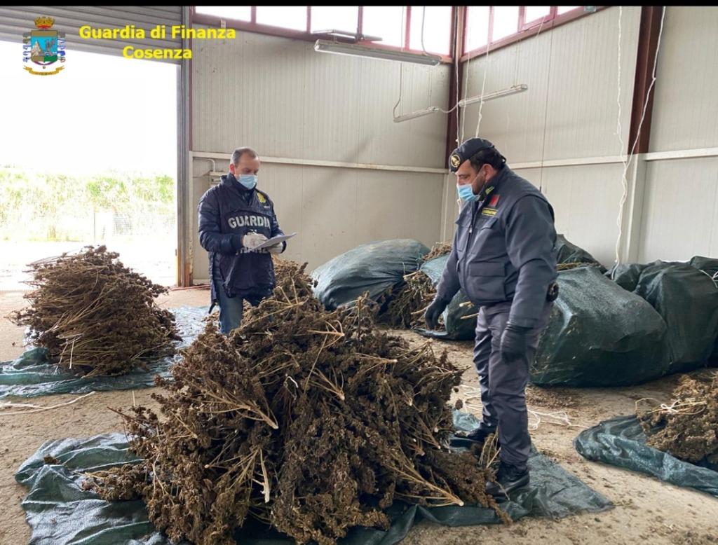 Sequestrate nel cosentino 3400 piante di cannabis non conforme alle autorizzazioni rilasciate